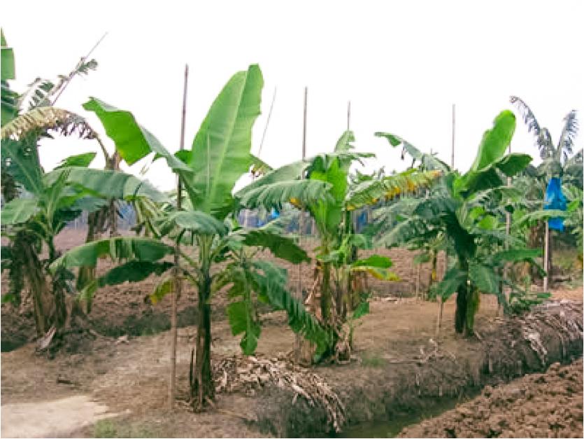 Banana Plantation Guangdong Province Chica